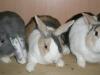 3-kaninchen